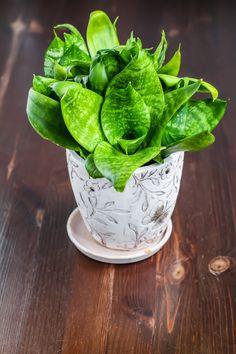 Tall Indoor Plants That are Beautiful and Easy to Maintain Tall Indoor Plants, Growing Plants Indoors, Snake Plant, Pesto, House Plants, Flora, Garden, Garten, Big Indoor Plants