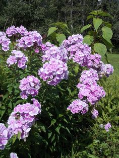Phlox...a beautiful addition to the summer garden.