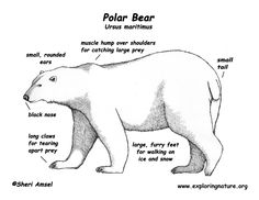 Google Image Result for http://www.exploringnature.org/graphics/mammals/bear_polar_bw_diagram150.jpg