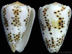 Puncticulis pulicarius pulicarius  Hwass, C.H. in Bruguière, J.G., 1792 Flea-bite Cone Shell size 30 - 75 mm Indo-Pacific