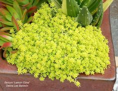 Cold Hardy Succulents for Northern Climates Looking for succulents that go below freezing? Start with the labeled photos here. Succulents In Containers, Container Plants, Cacti And Succulents, Planting Succulents, Container Gardening, Air Plants, Garden Plants, Potted Plants, Cold Climate Gardening
