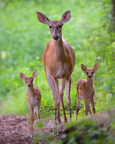A White Tail Doe ~ With Her Two Young Fawns.  (Photo By: Jim Ridley.)