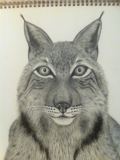 Lynx.  Pen and ink wildlife drawing. Yvonnemayartist.co.uk