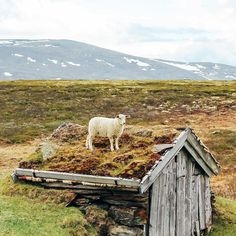 "When I say ""I'm so hungry I could eat a house"" I mean it -Lars #SheepWithAView  #via @sheepwithaview #norway"