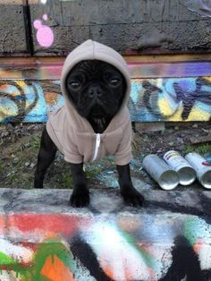 pugs in clothing will never not be cute