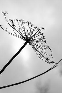 black and white,,,dandelion,,,