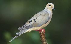 Mourning Dove. Many people mistakingly think they are called morning doves, but if you listen to their repeated soulful cries you will understand the reason they are called mourning doves.
