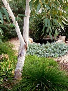 No water garden, Small whitegum with native understorey Australian Garden Design, Australian Native Garden, Australian Plants, Bush Garden, Dry Garden, Garden Shrubs, Glass Garden, Outdoor Gardens, Indoor Outdoor
