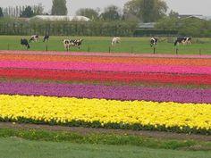 Tulip fields in Washington state.