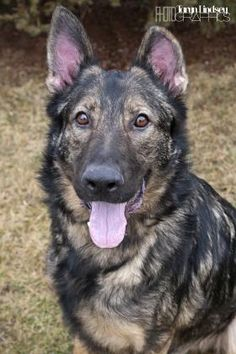 3 / 25     Petango.com – Meet Timber, a 2 years 9 months German Shepherd available for adoption in COLUMBUS, OH Contact Information Address  3765 Corporate Drive, COLUMBUS, OH, 43231  Phone  (614) 891-5280  Website  http://www.chaanimalshelter.or g  Email  adopt@CHAAnimalShelter.org