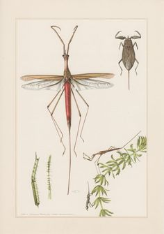 1955 Aquatic Insects Print Heteroptera Vintage by Craftissimo