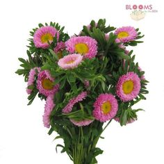 Matsumoto Aster Pink - Wholesale - Blooms By The Box