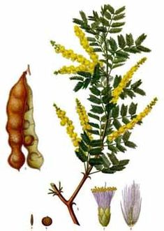 Acacia Senegal l Gum arabic is a natural gum made of hardened sap taken from two species of the acacia tree. Used in our Pure Abundance products to add volume to your fine hair. Plant Illustration, Botanical Illustration, Vintage Wall Art, Vintage Walls, Hydroponic Supplies, Acacia Gum, Gum Arabic, Fauna, Medicinal Plants