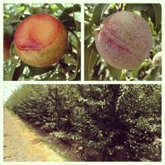 Dapple Phoenix pluot