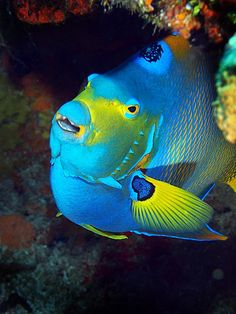 Queen Angelfish Life Under The Sea, Under The Ocean, Sea And Ocean, Weird Sea Creatures, Ocean Creatures, Pretty Fish, Beautiful Ocean, Underwater Creatures, Underwater Life