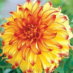 Breck's Lady Darlene Dahlias   Have to lift in fall in my zone...would I really do that?  Maybe as a container plant?