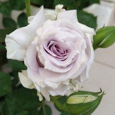 Grown Blue(miniture rose)