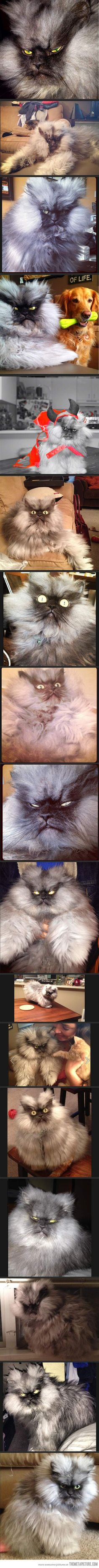 The most glorious angry cat that has ever existed…he's probably so grumpy because he has so much hair...