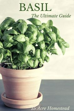 Here is everything you need to know about basil, from its origin to growing and caring, to harvesting and storing. Even some recipes too! Growing Vegetables At Home, Growing Herbs, Gardening For Beginners, Gardening Tips, Vegetable Gardening, Container Gardening, Herb Garden In Kitchen, Homestead Gardens, Herbs For Health