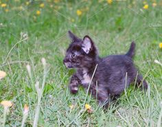 clumsy little kitten Photos clumsy little kitten on the grass with dandelions.toned by Roo Ivan