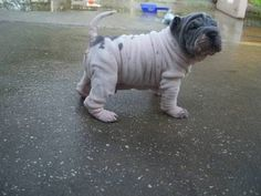 little piggy! so stinkin cute! Shar Pei Puppies, Dogs And Puppies, Doggies, Puppy Pictures, Animal Pictures, Chinese Shar Pei Dog, Frenchie Pug, Animals Beautiful, Cute Animals