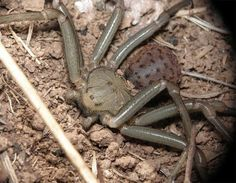 Six-Eyed Sand Spider ~ poisonous