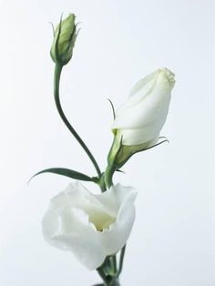 size: Photographic Print: Close-Up of Eustoma Russellanium, Kyoto Pure White, Flower and Buds on a White Background by Pearl Bucknall : Artists White Roses, White Flowers, Beautiful Flowers, Exotic Flowers, Yellow Roses, Purple Flowers, Pink Roses, Flower Close Up, Tulip Bouquet