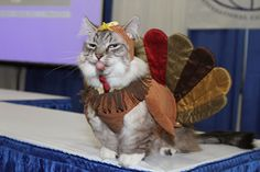 Happy Thanksgiving Meme 20192 Funny Thanksgiving Memes Images Pictures, Photos, Pics, Conclusion: Happy Thanksgiving Meme: Thanksgiving Day is mostly celebrated I Love Cats, Crazy Cats, Cute Cats, Funny Cats, Funny Animals, Cute Animals, Funniest Animals, Costume Chat, Pet Costumes