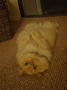 cute adorable munchkin cat lying down cat picture #meow - Find out at - Catsincare.com!