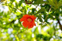Rock Jerjeles: Επισκέψιμο αγρόκτημα με ροδιές ποικιλίας wonderful...