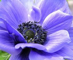 Everything I will ever need to know about planting my anemone bulbs - I love this clear blue...