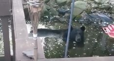 BEAR IN BACKYARD POND: THAT'S HOW YOU KNOW IT'S HOT!