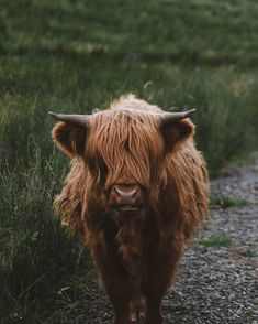 Meet Baldwin the highland cattle. Digital art landscapes portraits and…                                                                                                                                                                                 More