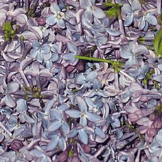 FiftyFlowers.com - Periwinkle Lilac Dried Petals
