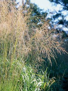 "Switchgrass (Panicum spp.)    Blooms Shaped like a fountain, this prairie grass delights from summer to winter. Expect soft blue-green foliage in the summer, followed by golden or spicy red tones in the fall and faded colors in the winter. ""Grasses are such a natural choice for our prairie landscapes,"" Charlotte says.  Attracts Many butterflies and skippers lay their eggs on native grasses."
