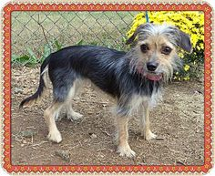 Act quickly to adopt WIGGLES. Pets at this Shelter may be held for only a short time.Marietta, GA - Yorkie, Yorkshire Terrier. Meet WIGGLES a Dog for Adoption.