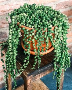Succulents are beautifu, exotic houseplants. See 7 types of String succulents that are both low maintenece and easy to water. Hanging Succulents, Cacti And Succulents, Hanging Plants, House Plants Decor, Plant Decor, Indoor Garden, Indoor Plants, Indoor Herbs, Propagate Succulents From Leaves