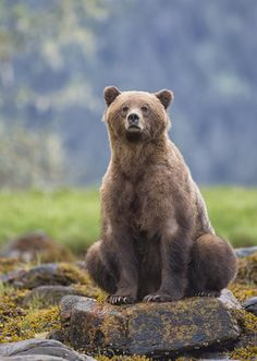 llbwwb: (via / Sow sitting on rock by Pat Roque) Nature Animals, Animals And Pets, Cute Animals, Bear Pictures, Animal Pictures, Parda, Canadian Wildlife, Love Bear, Big Bear