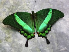 A butterfly for connecticut. Papilio palinurus, common name Emerald Swallowtail, Emerald Peacock, or Green-banded Peacock, is a butterfly of the genus Papilio belonging to the Papilionidae family. Butterfly Kisses, Butterfly Wings, Most Beautiful Butterfly, Beautiful Bugs, Beautiful Pictures, Moth Caterpillar, Green Butterfly, Butterfly House, Peacock Butterfly