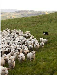 Border Collie herding sheep in Ireland. Had the pleasure of seeing a sheep herding demonstration while there Cane Corso, Alpacas, Farm Animals, Cute Animals, A Well Traveled Woman, Counting Sheep, Sheep And Lamb, Cat Dog, Mundo Animal