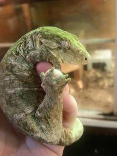 Leachie gecko <3                                                                                                                                                     More