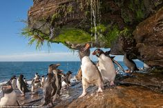 Rockhopper penguins taking a cool shower under the water running from the rocks, taken in the Falkland Islands in December 2009