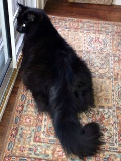 Bing the Black Maine Coon Cat
