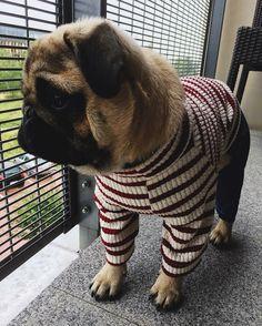 """Give it up for #sweet @rysio_thepug! TAG us to be featured ~ """"Fashion kilazzzz """" . . #minime #photoshoot #strikeapose #photooftheday #dogoftheday #dogsofinstaworld #puggle #puglife #pugstagram #pugpower #pug #obsessedwithpugs #smilingpugs #prettyricky #richierich #richard #handsome #cutnessoverload #rysio #mopsik #mops #warszawskimops #przystojniak #piesnababy #piesmodel #pozujemy #pieskieżycie #kiedypadadeszcz #nudzimysie #puglife #pugsnotdrugs"""