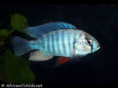Neochromis omnicaeruleus Ruti Island- Lake Victoria Cichlids Tropical Aquarium, Tropical Fish, Aquarium Fish, Victoria Lake, Aquarium Design, African Cichlids, Angel Fish, Freshwater Fish, Habitats