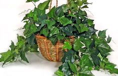 Breathe a little bit easier. Here are some attractive, easy-care plants to improve indoor air quality at your house, whether you have a green thumb or have never tried gardening before. Ficus, Home Design, Modern Design, Cottage Style Bathrooms, Easy Care Plants, Rustic Bathroom Vanities, Ivy Plants, Bathroom Plants, Bathroom Pictures