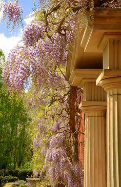 Wisteria, Burford House and Gardens  Shropshire, England