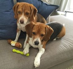 the look of confusion when squeaky sounds start coming from the baby's toys #howie #wyatt #beagleboyz
