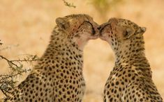 Two cheetahs groom each other and appear to be kissing after making a kill in the Masai Mara, Kenya