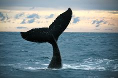 A whale tail dancing in the Hervey Bay sunset #whalewatching #herveybay #queensland